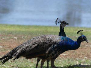 Oiseaux au lac proche de Mt Isa