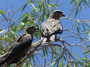 Oiseaux en nature, Mount Isa, Queensland