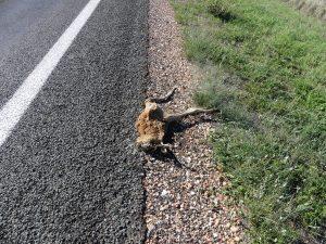 Kangourou mort sur la route vers Mt Isa