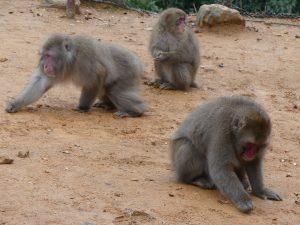 macaques japonais à Kyoto
