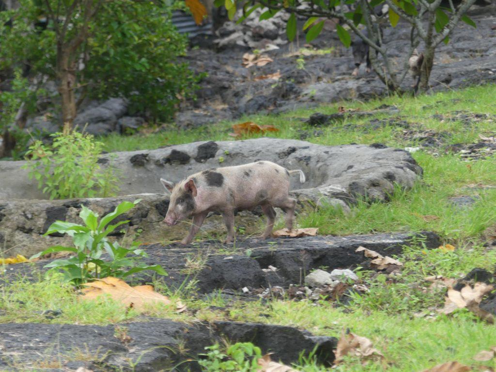 trop mignon le cochon