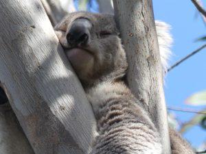un koala bien sûr !