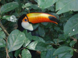 Bioparc : un toucan