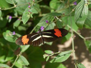 papillon bicolore