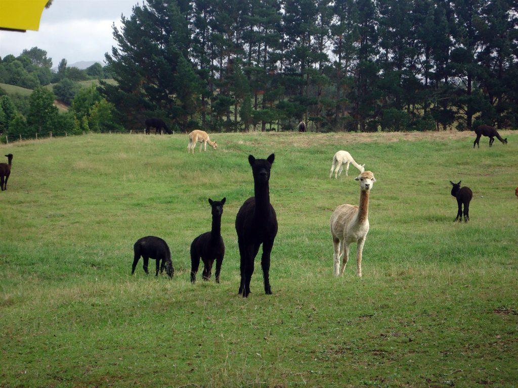 élevage d'Alpacas en Nouvelle Zélande