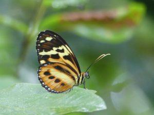 papillon à Iguazu