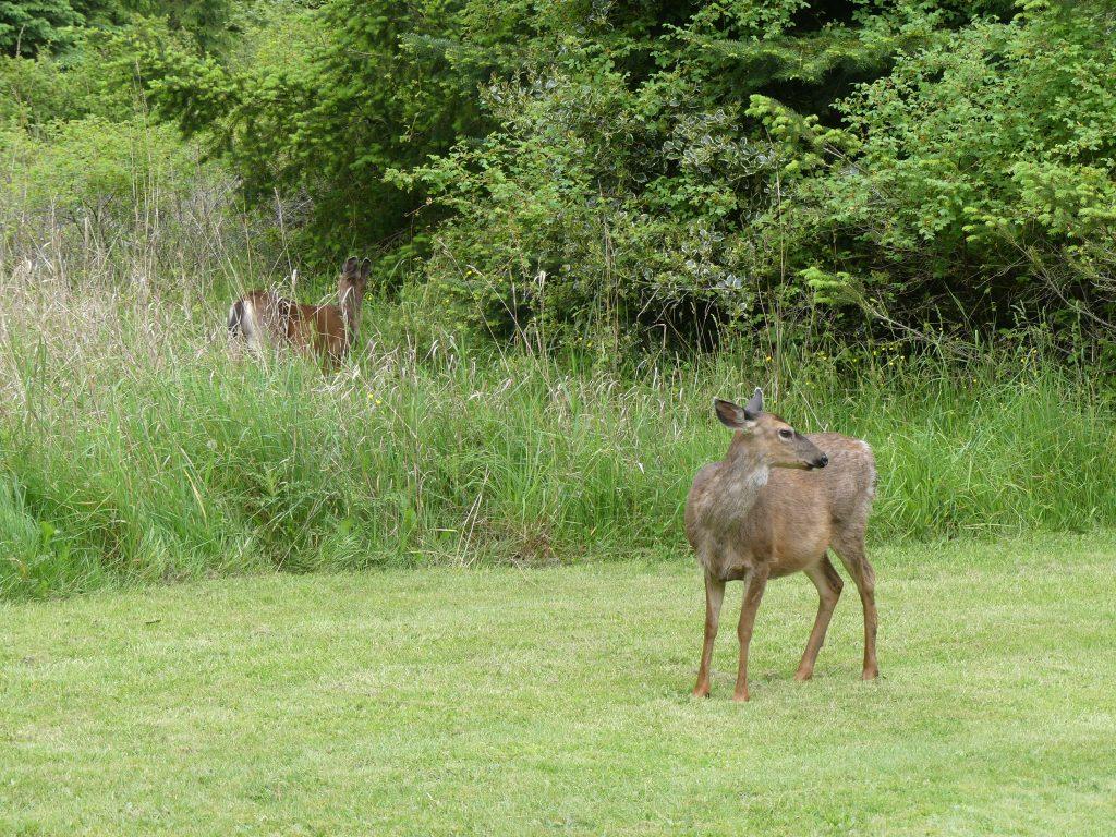 Regardez bien, il y a un 2e cerf sur cette photo