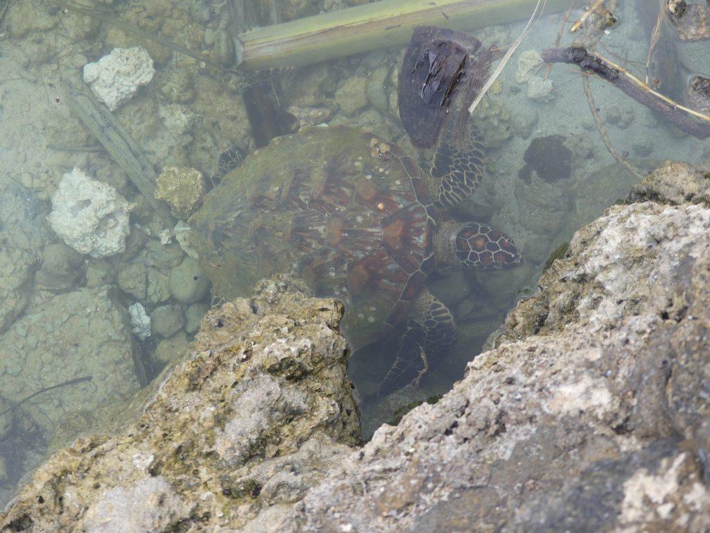 Oh, une tortue de mer !