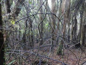 la forêt du Maori