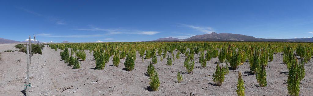 Devant : plantations de quinoa. Derrière : un volcan enneigé.