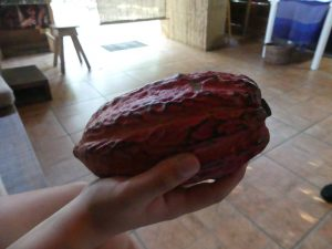 la cabosse de cacao
