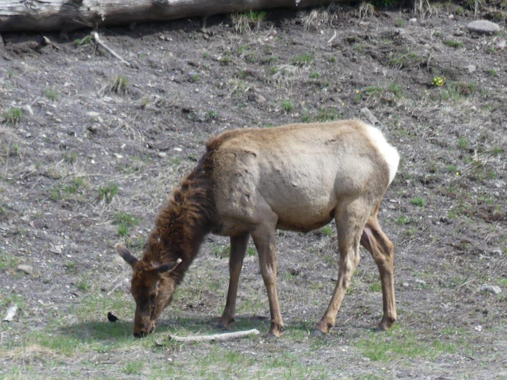 A vous d'identifier de quel animal il s'agit (indice : ce n'est PAS un daim)