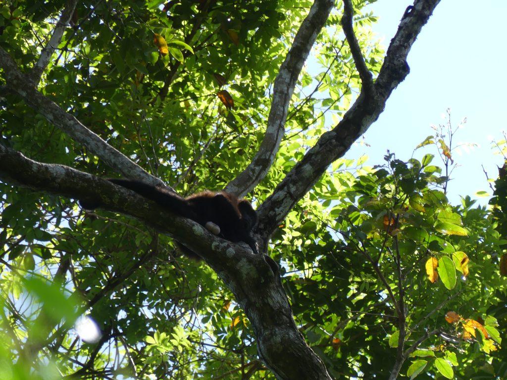 Des singes nous surveillent depuis les arbres