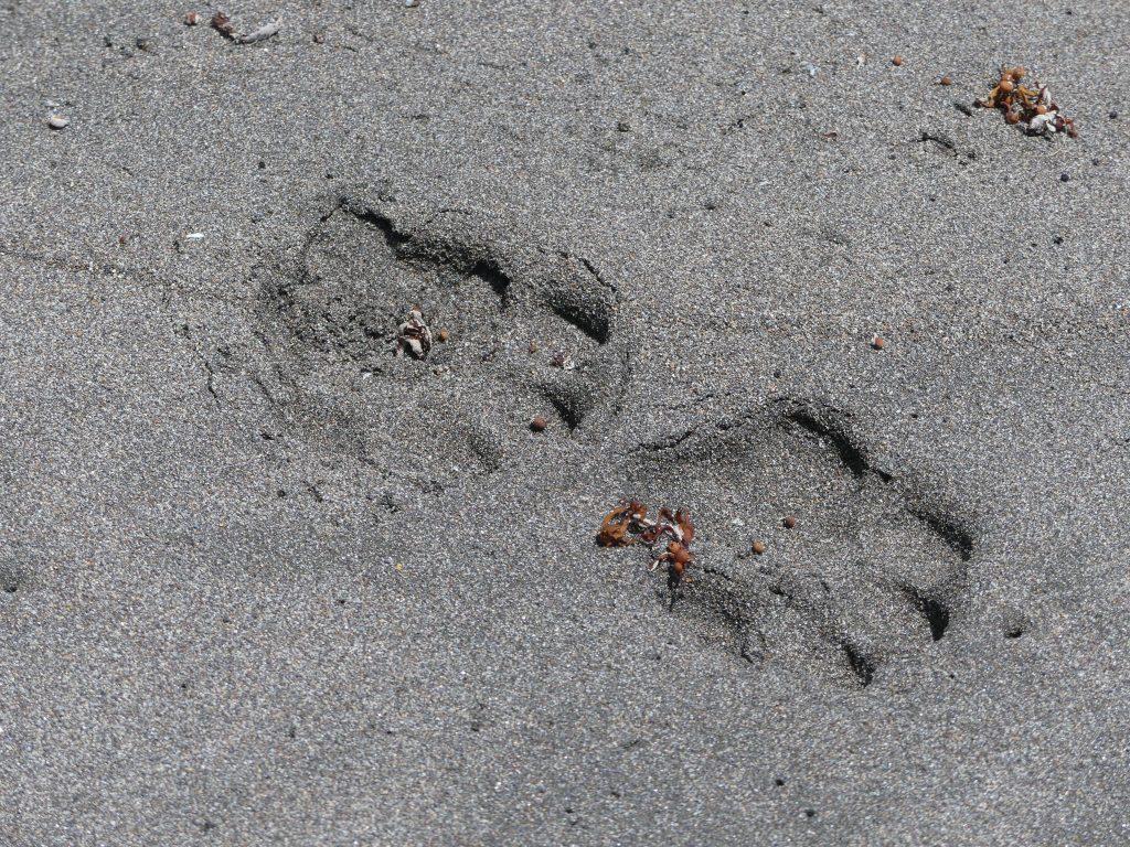 d'autres traces de pas de jaguar dans le sable