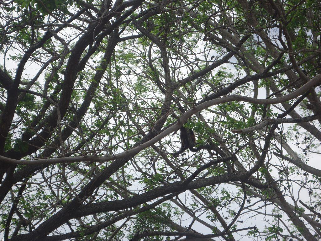 des singes dans l'arbre