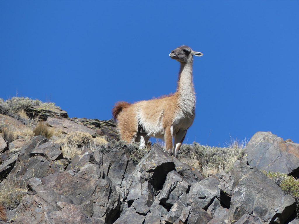 Guanaco sur un rocher
