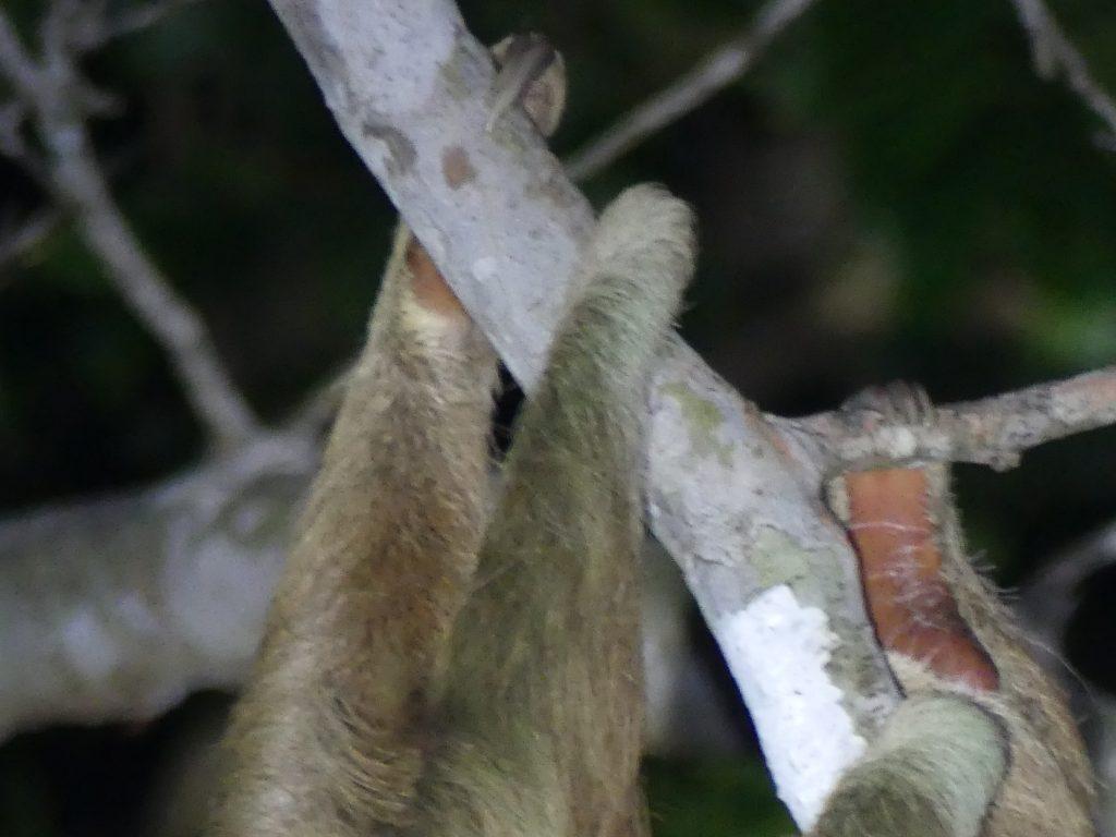 Avec ses griffes, le sloth reste accroché tout en dormant