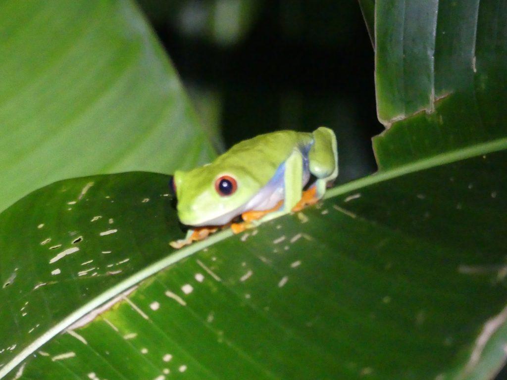 Grenouille verte, le symbole de Tortuguero