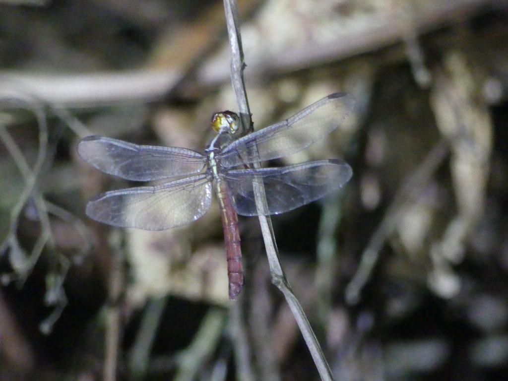 Quatre ailes transparentes !