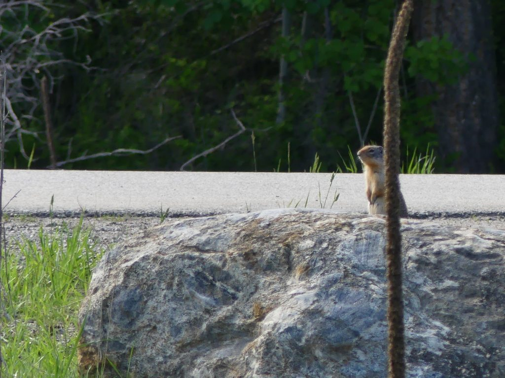 marmotte, chien de prairie, ou simple chipmunk ?