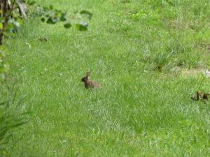 un lapin qui passait par là