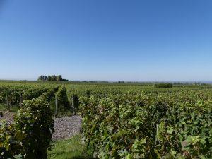 vignes dans la vallée de l'Uro, Argentine