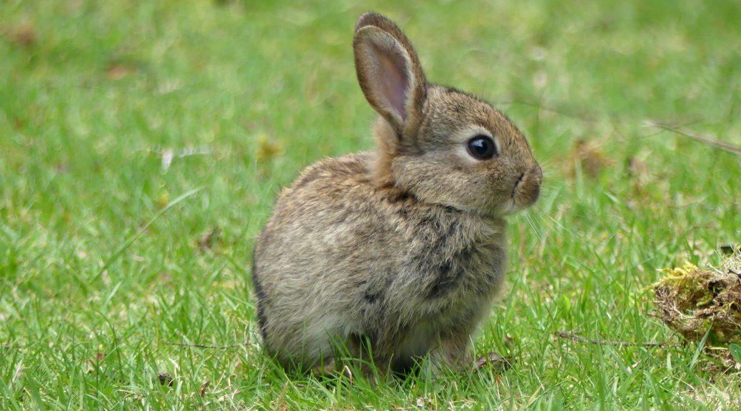 Taranaki Falls rabbit