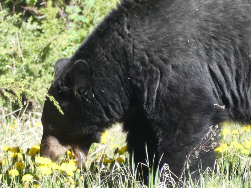 l'ours du Yoho NP